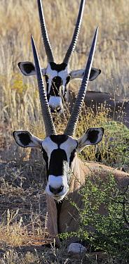Oryx (Oryx gazella) pair, Kgalagadi Transfrontier Park, South Africa  -  Tina Malfilatre/ Biosphoto