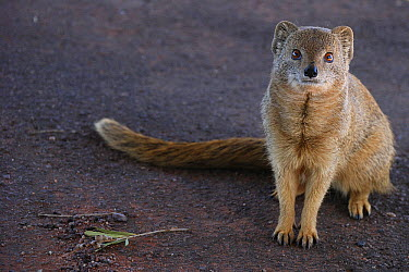 Yellow Mongoose (Cynictis penicillata), South Africa  -  Tina Malfilatre/ Biosphoto