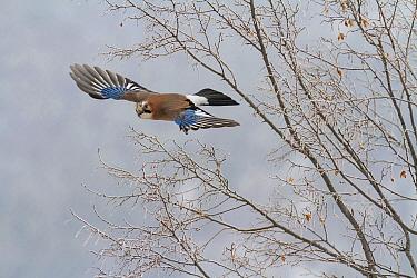 Eurasian Jay (Garrulus glandarius) flying in winter, Balkans, Bulgaria  -  Andre Simon/ Biosphoto