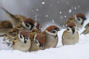 Eurasian Tree Sparrow (Passer montanus) group foraging in snow, Balkans, Bulgaria  -  Andre Simon/ Biosphoto