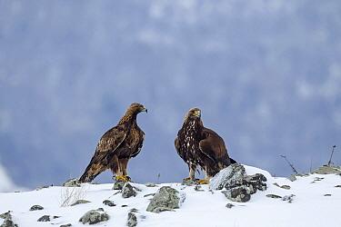 Golden Eagle (Aquila chrysaetos) pair in winter, Balkans, Bulgaria  -  Andre Simon/ Biosphoto
