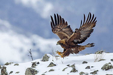 Golden Eagle (Aquila chrysaetos) landing in winter, Balkans, Bulgaria  -  Andre Simon/ Biosphoto