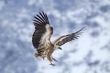Griffon Vulture (Gyps fulvus) flying in winter, Balkans, Bulgaria  -  Andre Simon/ Biosphoto