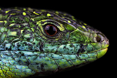 Western Green Lizard (Lacerta bilineata), France  -  Axel Ludovic Papon/ Biosphoto
