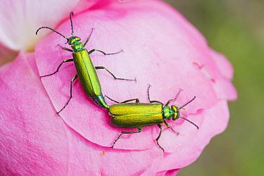 Spanish Fly (Lytta vesicatoria) pair mating on Rose (Rosa sp), Provence, France  -  Benoit Personnaz/ Biosphoto