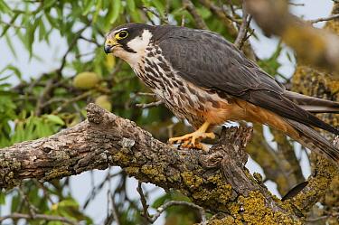 Eurasian Hobby (Falco subbuteo) in Almond (Prunus dulcis) tree, Spain  -  Roger Eritja/ Biosphoto