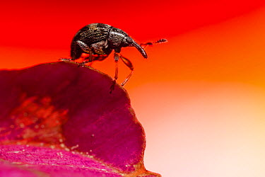 Loosestrife Weevil (Nanophyes marmoratus), Alsace, France  -  Benoit Personnaz/ Biosphoto