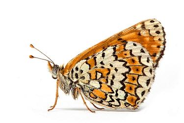 Glanville Fritillary (Melitaea cinxia) butterfly, France  -  Michel Gunther/ Biosphoto