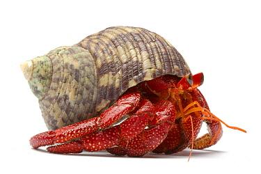 Strawberry Land Hermit Crab (Coenobita perlatus), Kenya  -  Michel Gunther/ Biosphoto