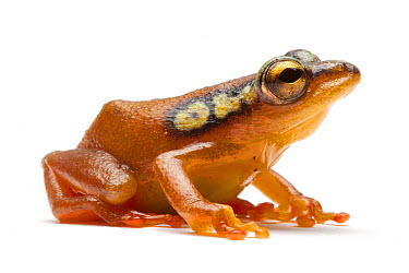 Spotted Reed Frog (Hyperolius puncticulatus), France  -  Michel Gunther/ Biosphoto