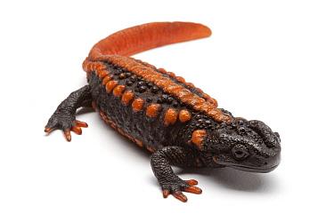 Tiannan Crocodile Newt (Tylototriton yangi), France  -  Michel Gunther/ Biosphoto