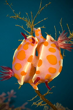 Clown Nudibranch (Ceratosoma amoena) pair mating, Poor Knights Islands, New Zealand  -  Tobias Bernhard Raff/ Biosphoto