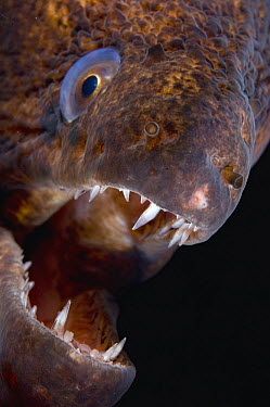 Giant Moray Eel (Gymnothorax javanicus), Papua New Guinea  -  Tobias Bernhard Raff/ Biosphoto