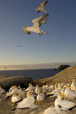 Australian Gannet (Morus serrator) colony, New Zealand  -  Tobias Bernhard Raff/ Biosphoto
