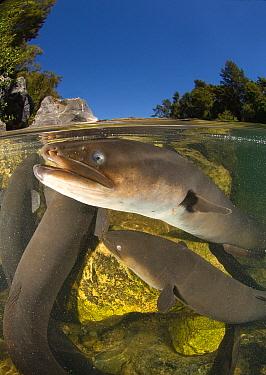 New Zealand Longfin Eel (Anguilla dieffenbachii) group, New Zealand  -  Tobias Bernhard Raff/ Biosphoto