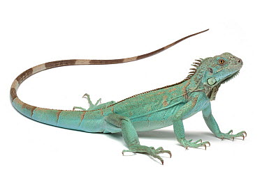 Green Iguana (Iguana iguana) blue form, France  -  Michel Gunther/ Biosphoto