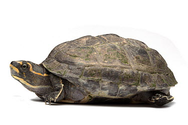 Crowned River Turtle (Hardella thurjii), native to northern India, Pakistan, and Bangladesh  -  Michel Gunther/ Biosphoto