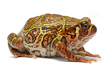 Madagascan Burrowing Frog (Scaphiophryne madagascariensis), France  -  Michel Gunther/ Biosphoto