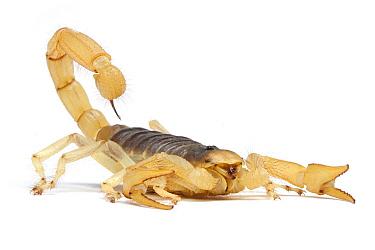 Scorpion (Hadrurus spadix), range southern North American deserts  -  Michel Gunther/ Biosphoto