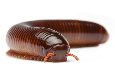 Millipede, France  -  Michel Gunther/ Biosphoto