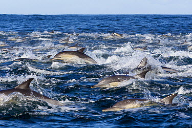 Long-beaked Common Dolphin (Delphinus capensis) pod surfacing, Seal Island, South Africa  -  Sylvain Cordier/ Biosphoto