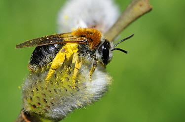 Mining Bee (Andrena haemorrhoa) on Goat Willow (Salix caprea) flower, Vosges du Nord National Park, France  -  Michel Rauch/ Biosphoto