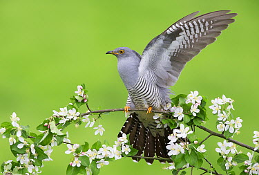 Common Cuckoo (Cuculus canorus) stretching, United Kingdom  -  Frederic Desmette/ Biosphoto