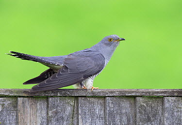 Common Cuckoo (Cuculus canorus), United Kingdom  -  Frederic Desmette/ Biosphoto