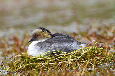 Silvery Grebe (Podiceps occipitalis) on nest, Torres Del Paine National Park, Chile  -  Sylvain Cordier/ Biosphoto