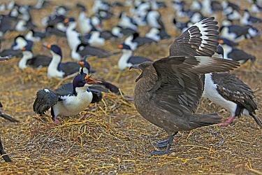 Antarctic Skua (Catharacta antarctica) attacking White-bellied Shag (Phalacrocorax atriceps albiventer) colony, Falkland Islands  -  Alain Mafart-Renodier/ Biosphoto