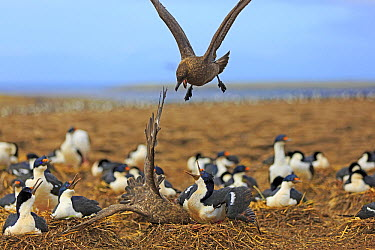 Antarctic Skua (Catharacta antarctica) pair attacking White-bellied Shag (Phalacrocorax atriceps albiventer) colony, Falkland Islands  -  Alain Mafart-Renodier/ Biosphoto