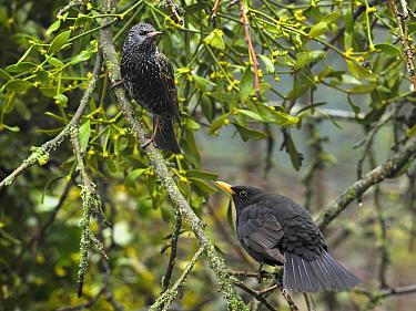 Eurasian Blackbird (Turdus merula) male facing off with Common Starling (Sturnus vulgaris), France  -  Patrick Glaume/ Biosphoto