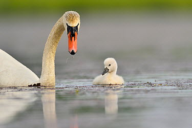 Mute Swan (Cygnus olor) parent and cygnet, Dombes, France  -  Claude Balcaen/ Biosphoto