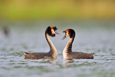 Great Crested Grebe (Podiceps cristatus) pair courting, Dombes, France  -  Claude Balcaen/ Biosphoto