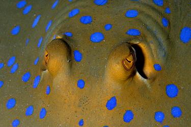 Blue Spotted Fantail Stingray (Taeniura lymma) eyes, Red Sea, Egypt  -  Odile Gautier/ Biosphoto