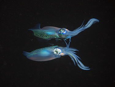 Caribbean Reef Squid (Sepioteuthis sepioidea) with reflection, Fiji  -  Tobias Bernhard Raff/ Biosphoto