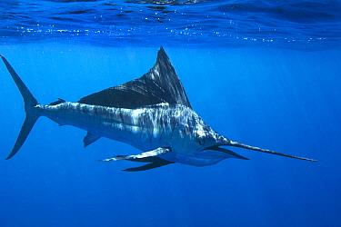 Pacific Sailfish (Istiophorus platypterus), Gulf of California, Mexico  -  Christopher Swann/ Biosphoto