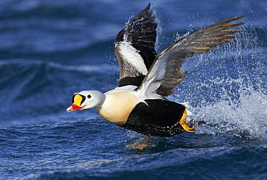 King Eider (Somateria spectabilis) male taking flight, Barents Sea, Norway  -  Niko Pekonen/ Biosphoto