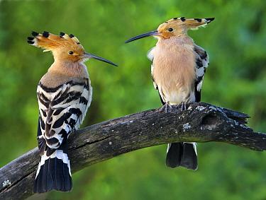 Eurasian Hoopoe (Upupa epops) pair, Spain  -  Mario Cea Sanchez/ Biosphoto