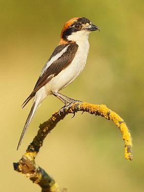 Woodchat Shrike (Lanius senator), Spain  -  Mario Cea Sanchez/ Biosphoto