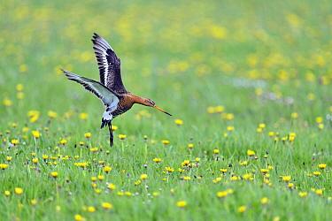 Black-tailed Godwit (Limosa limosa) flying, Texel, Netherlands  -  Claude Balcaen/ Biosphoto