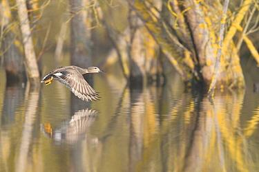 Northern Pintail (Anas acuta) flying, France  -  Claude Balcaen/ Biosphoto