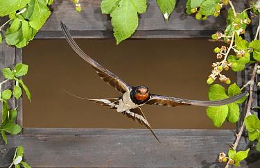 Barn Swallow (Hirundo rustica) flying through window, Spain  -  Mario Cea Sanchez/ Biosphoto