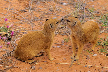 Yellow Mongoose (Cynictis penicillata) pair greeting, Kgalagadi Transfrontier Park, South Africa  -  Tina Malfilatre/ Biosphoto