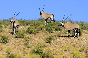 South African Oryx (Oryx gazella gazella) trio, Kgalagadi Transfrontier Park, South Africa  -  Tina Malfilatre/ Biosphoto