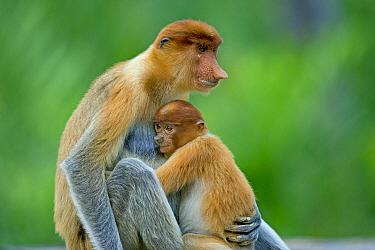 Proboscis Monkey (Nasalis larvatus) mother nursing young, Labuk Bay, Sabah, Borneo, Malaysia  -  Sylvain Cordier/ Biosphoto