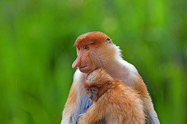 Proboscis Monkey (Nasalis larvatus) mother and young, Labuk Bay, Sabah, Borneo, Malaysia  -  Sylvain Cordier/ Biosphoto
