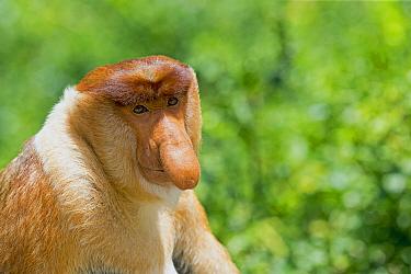 Proboscis Monkey (Nasalis larvatus) male, Labuk Bay, Sabah, Borneo, Malaysia  -  Sylvain Cordier/ Biosphoto