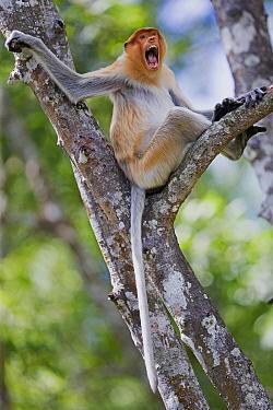 Proboscis Monkey (Nasalis larvatus) female in threat display, Labuk Bay, Sabah, Borneo, Malaysia  -  Sylvain Cordier/ Biosphoto