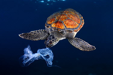 Green Sea Turtle (Chelonia mydas) trying to eat plastic bag, Tenerife, Canary Islands, Spain  -  Sergi Garcia Fernandez/ Biosphot